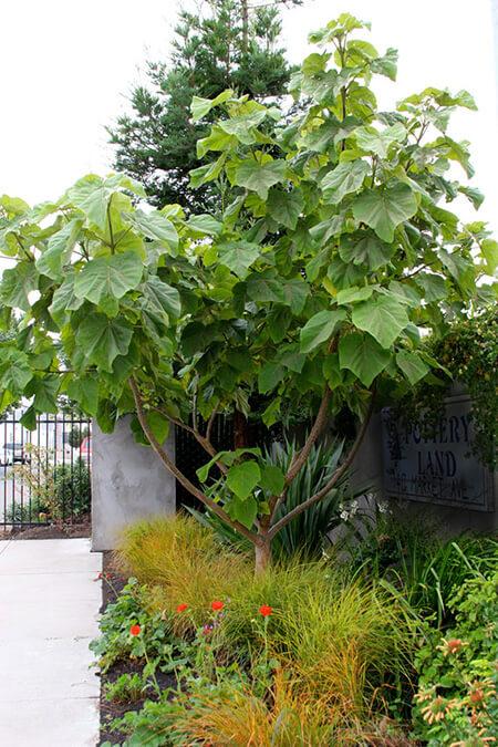 شرایط نگهداری از درخت پالونیا, درخت پالونیا چیست, تصاویری از درخت پالونیا